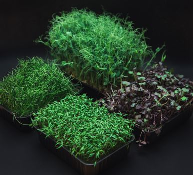Micro greens sprouts of radish, amaranth, peas, beetroot on black background. Concept of superfood and healthy organic food