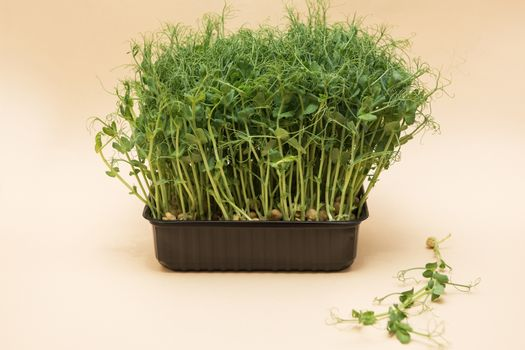 Micro greens sprouts of peas on beige background. Concept of superfood and healthy organic food