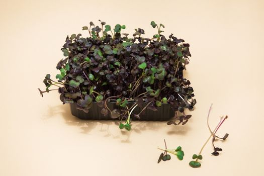 Micro greens sprouts of radish on beige background. Concept of superfood and healthy organic food