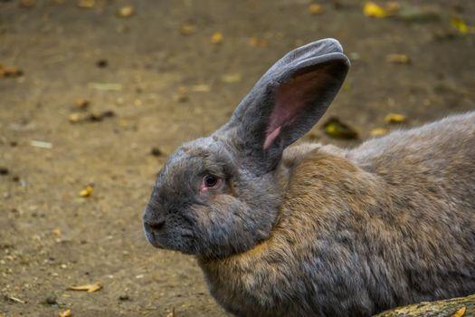 closeup of a brown european rabbit, popular domesticated bunny specie
