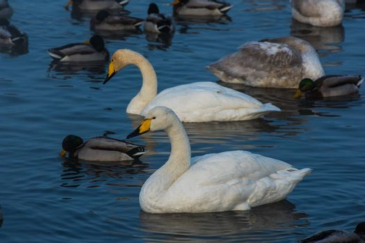 Whooper swans swimming in the lake, Altai, Russia
