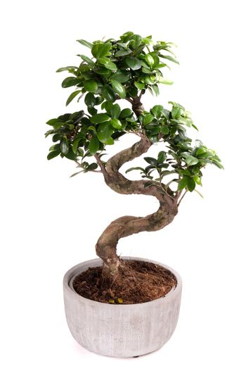 Bonsai tree potted plant, isolated on white