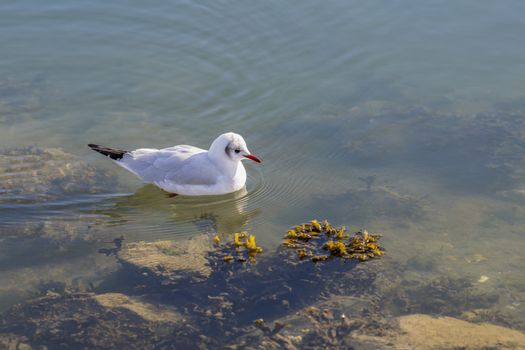 Gull Chroicocephalus swimming in the waters of a harbour in search of food