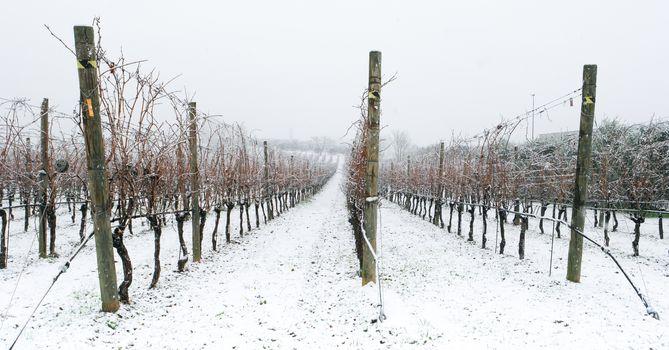 a snowy winter landscape of a vineyard