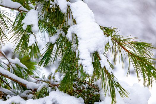 Evergreen Branches & Needles Weighed Down By Snow