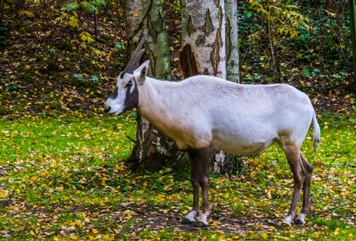 portrait of a white arabian oryx standing in the pasture, tropical antelope specie from Arabia