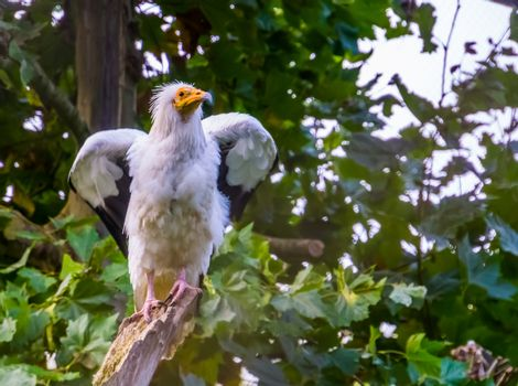 white egyptian vulture shaking its wings, Scavenger bird specie from Africa