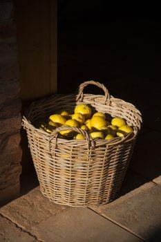 Basket with fresh yellow lemons at a farm
