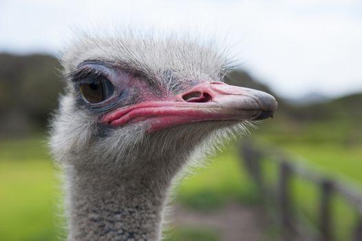 Closeup of head, eye and beak of ostrich