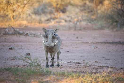 A warthog looking into the camera on the savannah of Kruger National Park, South Africa
