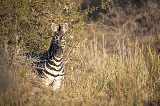 Striped zebra looking into the camera from a bush in Kruger National Park, South Africa