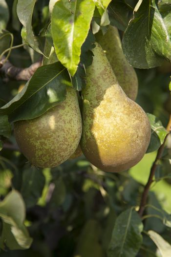 Tree with fresh green pears