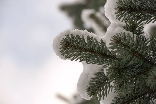 Snow on a spruce in the winter