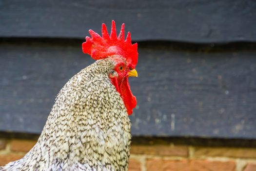 closeup of the face of a beautiful domesticated chicken, free range chicken on the farm, popular pet