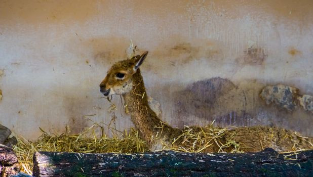 funny closeup of a vicuna laying in hay, mountain animal from the Andes of Peru, Specie related to the camel and alpaca