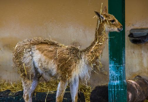 funny vicuna covered in hay, mountain animal from the Andes of Peru, Specie related to the camel and alpaca
