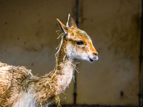 the face of a vinua in closeup, mountain animal from the Andes of Peru, Specie related to the camel and alpaca