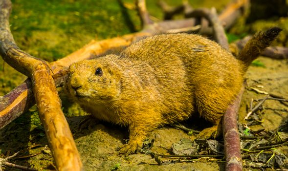 portrait of a black tailed prairie dog in closeup, adorable popular pet, tropical rodent specie from America