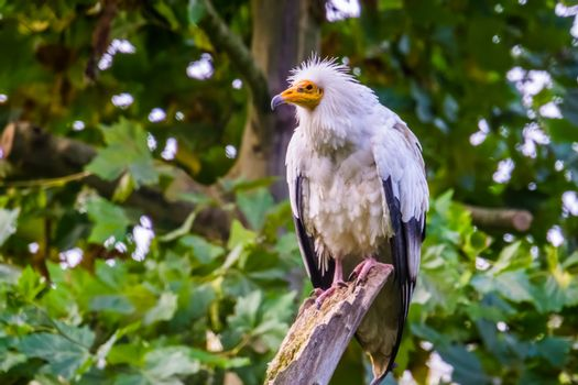 white egyptian vulture in closeup, tropical scavenger bird specie from Africa