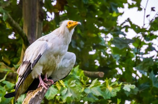 closeup portrait of a white egyptian vulture, Scavenger bird specie from Africa