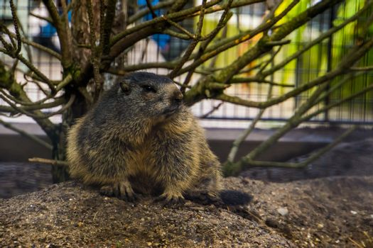 Alpine marmot, a wild squirrel from the alps of europe, rodent specie