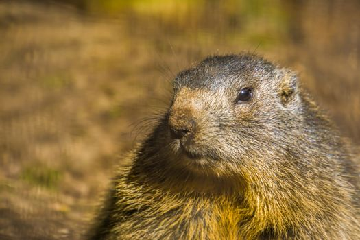 face of alpine marmot in closeup, wild squirrel from the alps of europe, Rodent specie