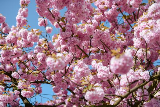 Japan Cherry tree blossoming in spring time