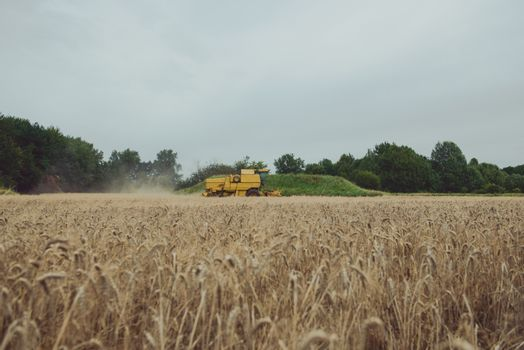 Combine harvesting wheat. Sumemr time. Agriculture background with copy space.
