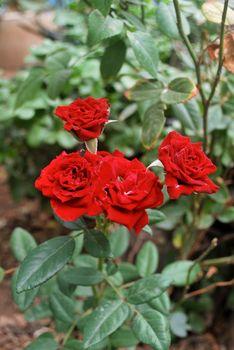 Red house rose, fragrant, tropical Thai rose.