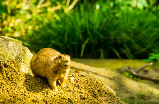 cute portrait of a black tailed prairie dog, tropical rodent specie from America