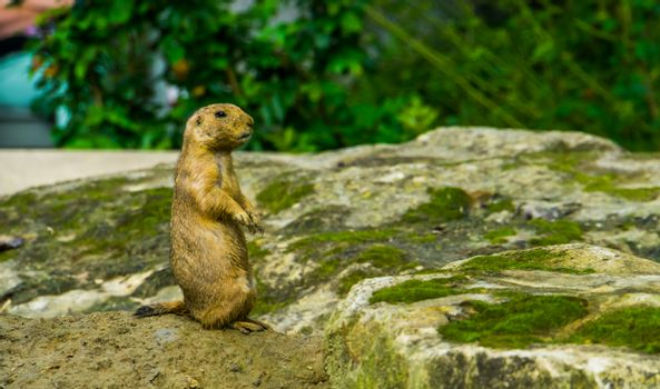 closeup portrait of a black tailed prairie dog standing, funny animal behavior, tropical rodent specie from America