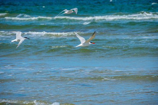 Red orange bill and black cap birds enjoying the view around the coastline of the seashore