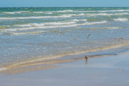 A relaxing small wading birds enjoying the view around the coastline of the seashore