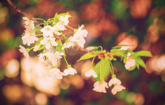 Close up of a blooming wild cherry (Prunus avium) tree with little white petals. Magical bokeh close up of a blooming sweet cherry tree in spring. Springtime concept.