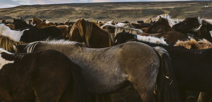 Loins and mane of many Icelandic horses together.