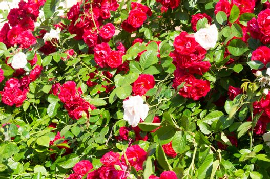 Red rose bushes with green leaves, a perfect gift for a woman for any occasion. Luxury view on a summer day