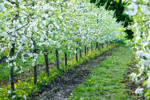 garden of planted apple trees on a beautiful day. Good harvest