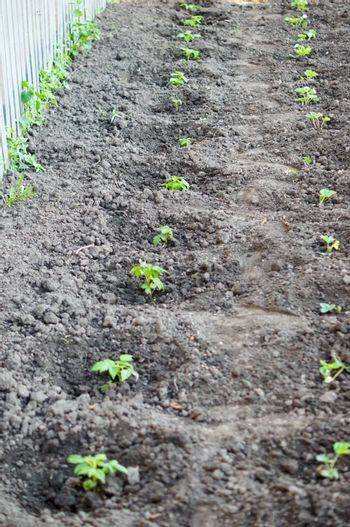 Raspberry seedlings planted in fresh ground and will give fruit for next year