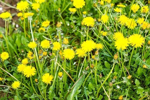 yellow dandelions growing on a lawn illuminated by the sunlight