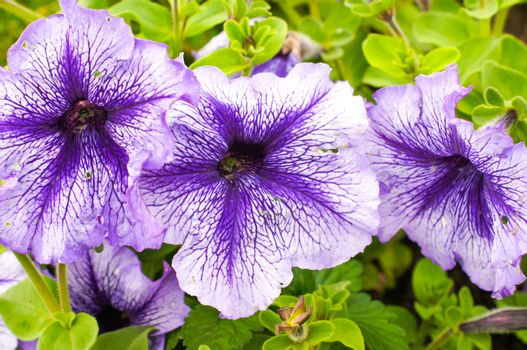 Purple petunia flowers in a beautiful design on a bright sunny day