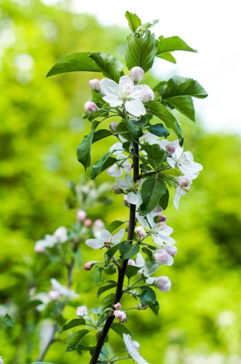 Apple trees flowers. the seed-bearing part of a plant, consisting of reproductive organs that are typically surrounded by a brightly colored corolla