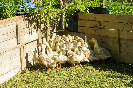 A herd of young ducks in nature in the aviary on a summer day