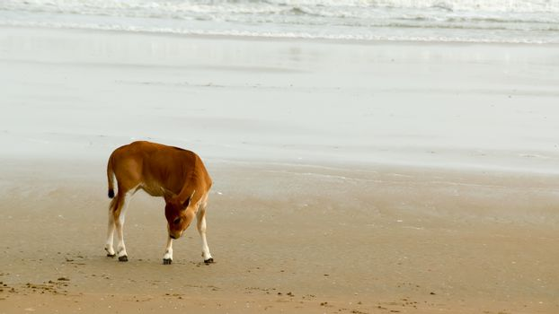 A Baby cow calf on the beach. One domestic animal in nature theme. Animals in the wild background. Goa India South Asia Pac