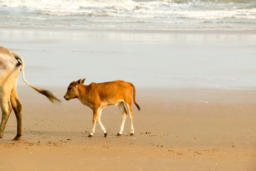 A Baby cow calf walking on the beach .One domestic animal in nature theme. Animals in the wild background. Goa India South Asia Pac