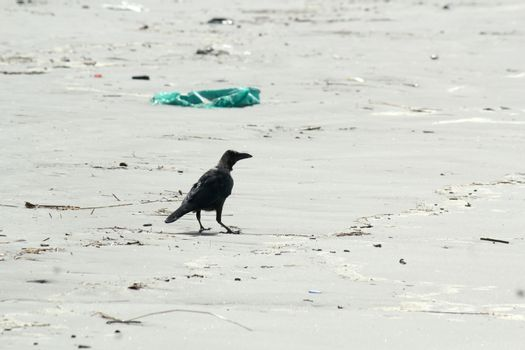 A medium sized Indian house crow bird (Corvus Corvidae family) common known as crows, ravens, rooks or jackdawss spotted in a sea beach. Close up. Animal wildlife theme and wild behavior background.