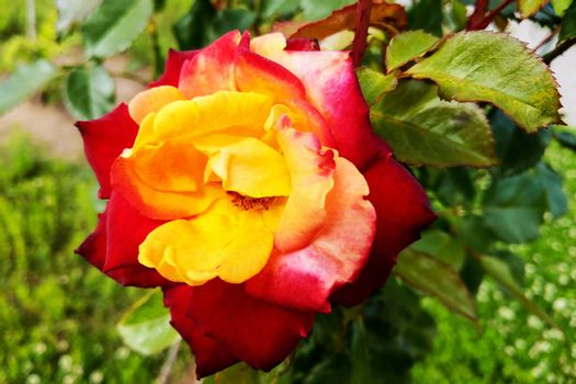 red and yellow roses in the garden. Spring