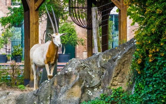 portrait of scimitar oryx, animal specie that is extinct in the wild, antelope with long horns