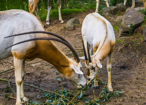 two scimitar oryxes eating leaves together, Antelope diet, animal specie that is extinct in the wild