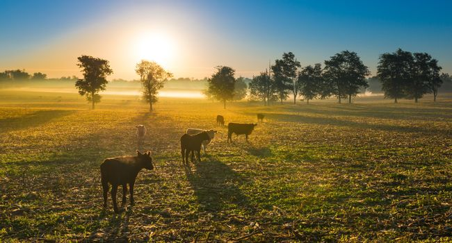 Cows grazing in the early morning fog.