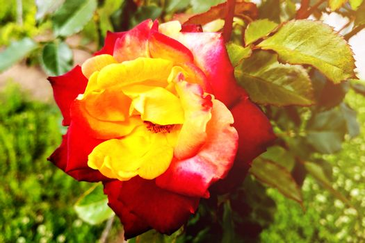 A yellow rose with red tips boldly contrasts in the garden